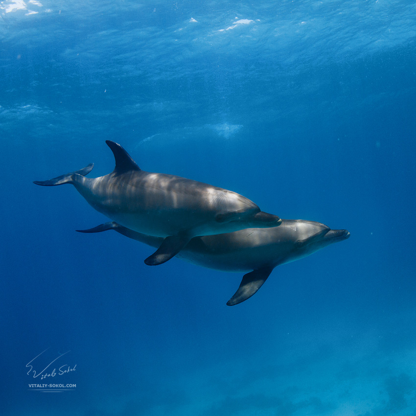 dolphins in open water