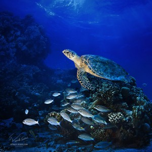 Turtle. Underwater photo. Sealife