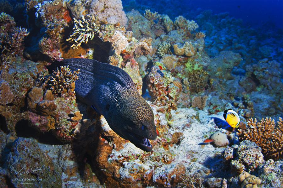 Moray eel. Classic underwater scenery.