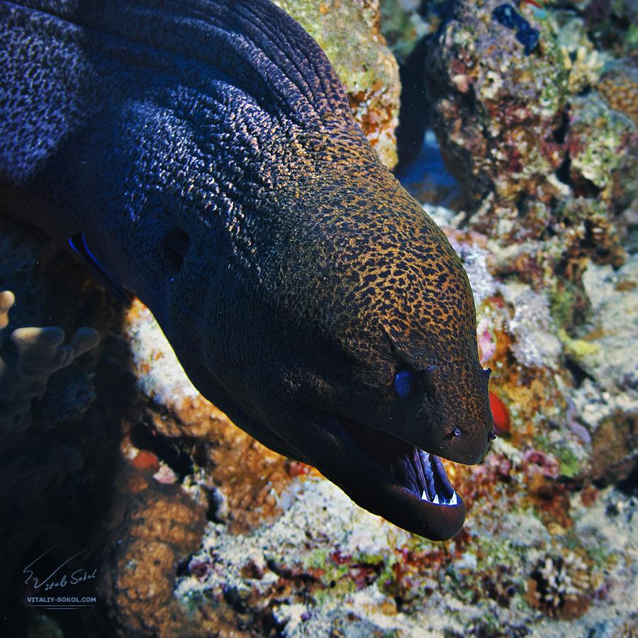 Moray eel close up
