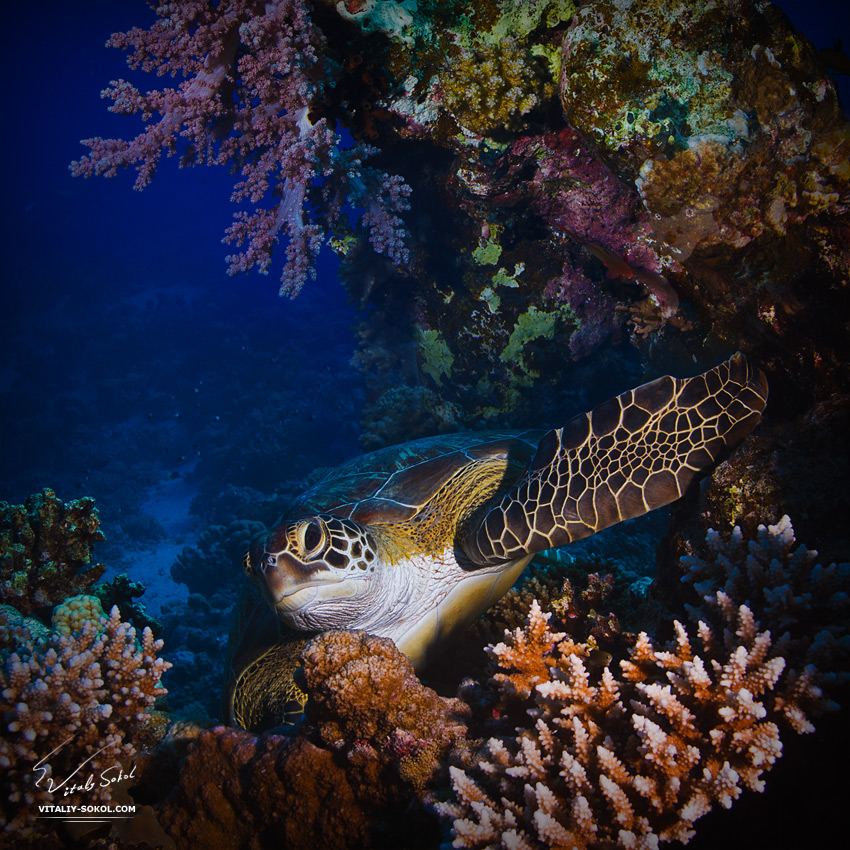 Big green sea turtle between corals underwater