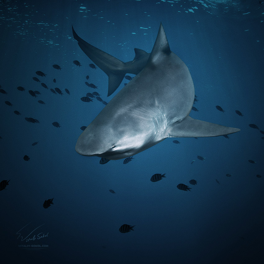 shark underwater photo