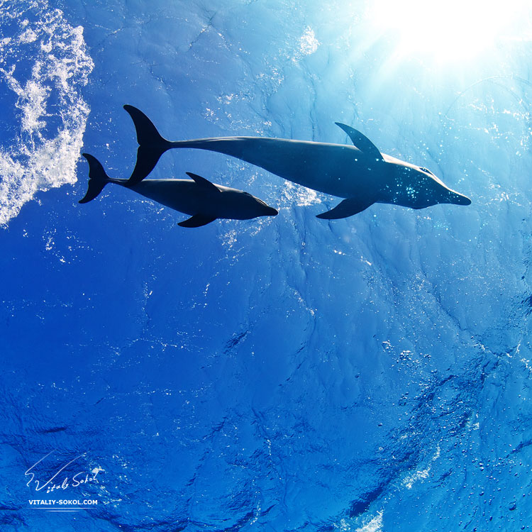 water-surface-with-sunrays-and-two-funny-nice-family-dolphins-underwater