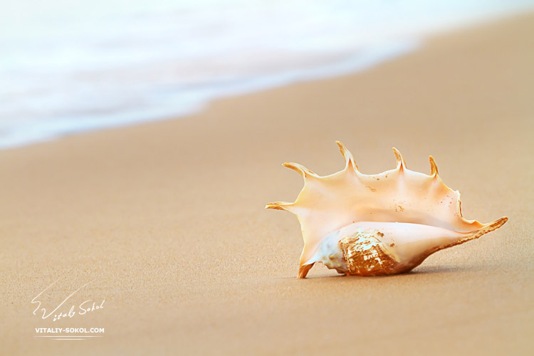 Tropical ocean paradise design postcard. A beach with seashell of lambis truncata giant mollusk on wet sand near water foam