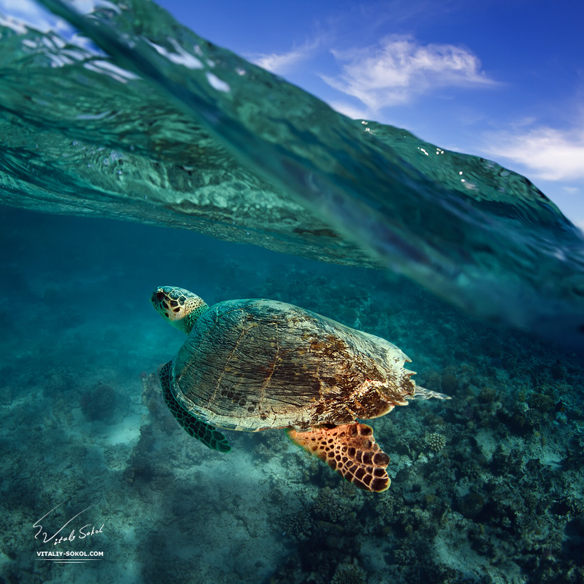 big sea turtle diving over coral reef in blue water under wave line with clouds above by Vitaliy Sokol