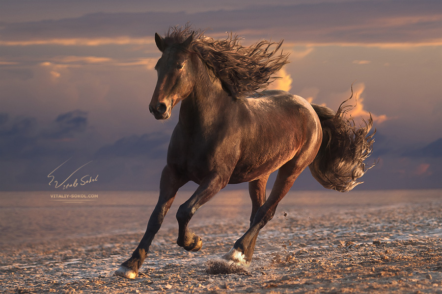 Running horse with streamed mane on sunset sandy beach