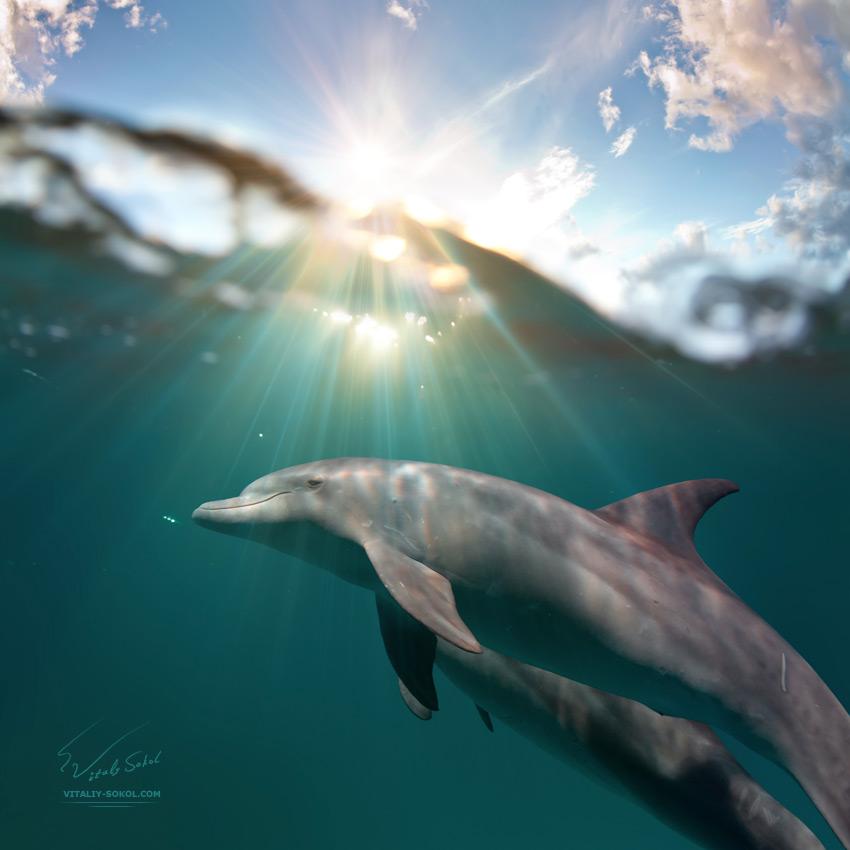 Marine life design postcard. Playful dolphins underwater swimming under water surface
