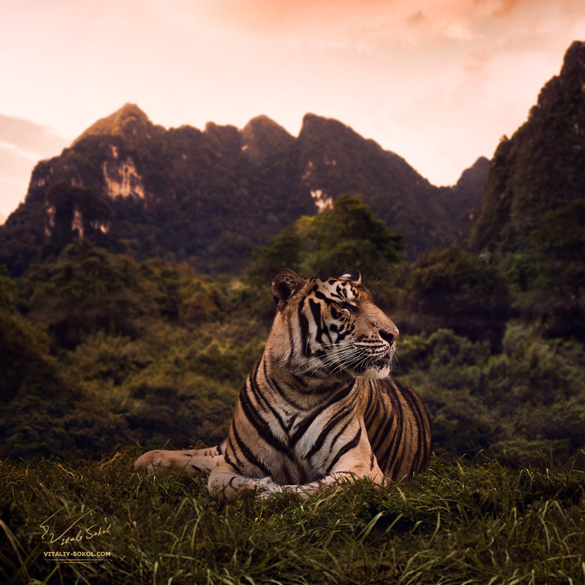 Portrait of a bengal tiger in his habitat by Vitaliy Sokol