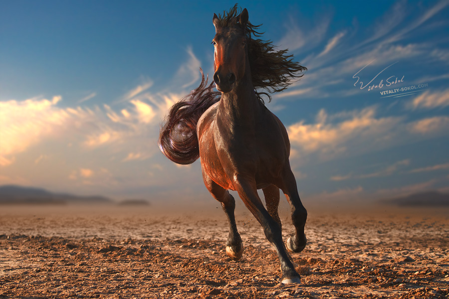 monochrome photo running horse with streamed mane on sunset sand