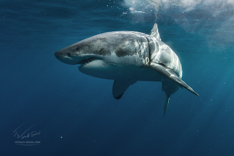 great-white-shark-IMG_4161