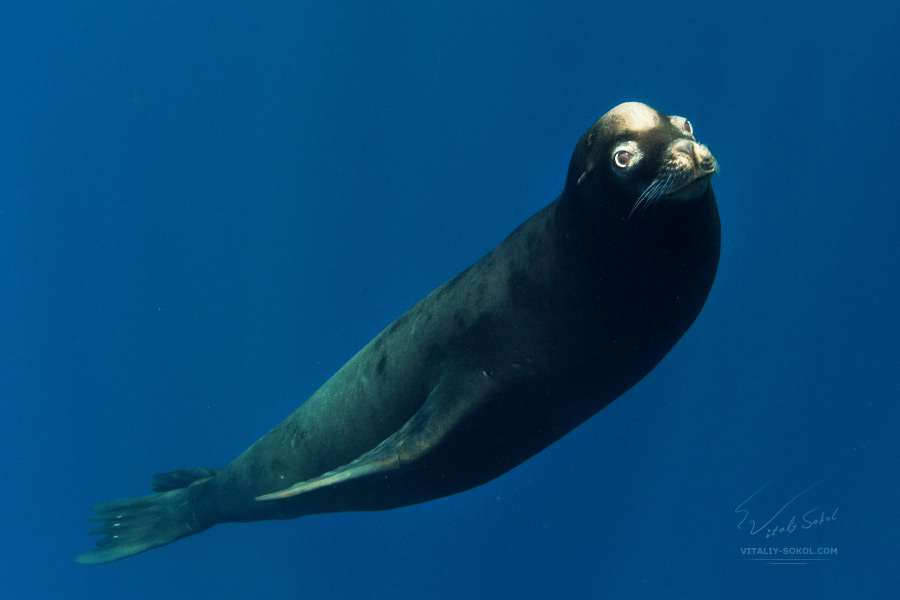 Seal. Sea lion