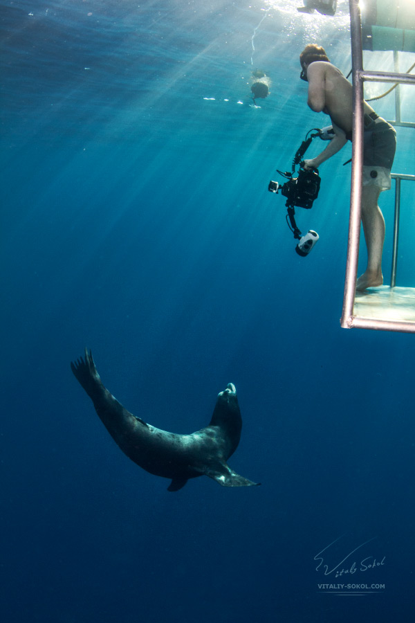 Sea lion and human in cage underwater
