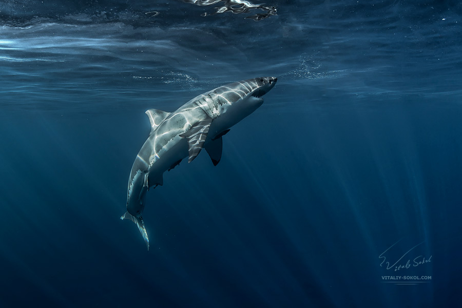 Great White Shark close water surface