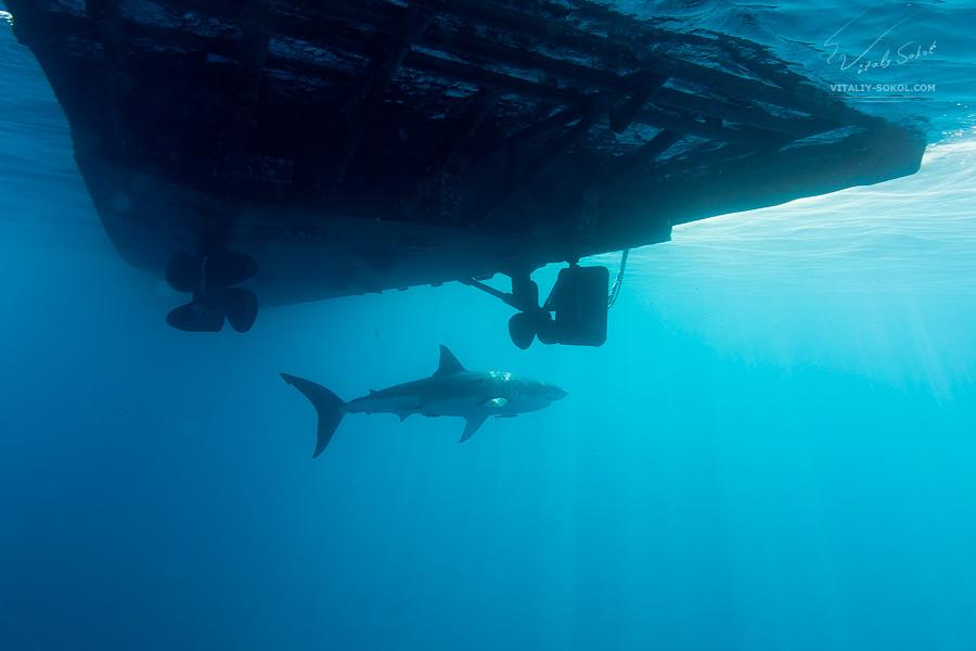great-white-shark-under boat