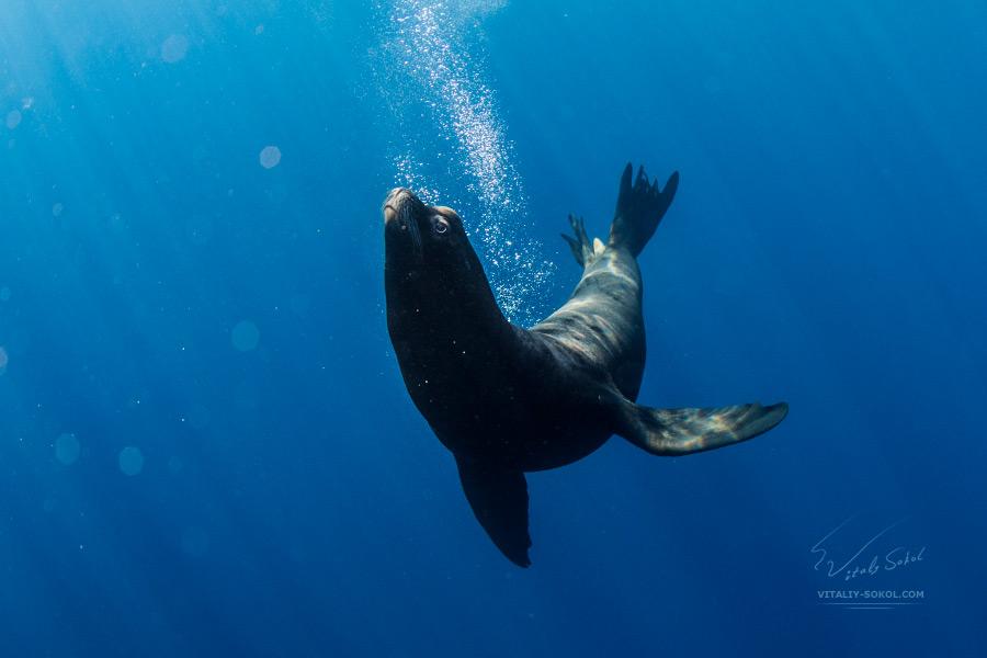 California Sea Lion in Pacific ocean underwater photo by Vitaliy Sokol