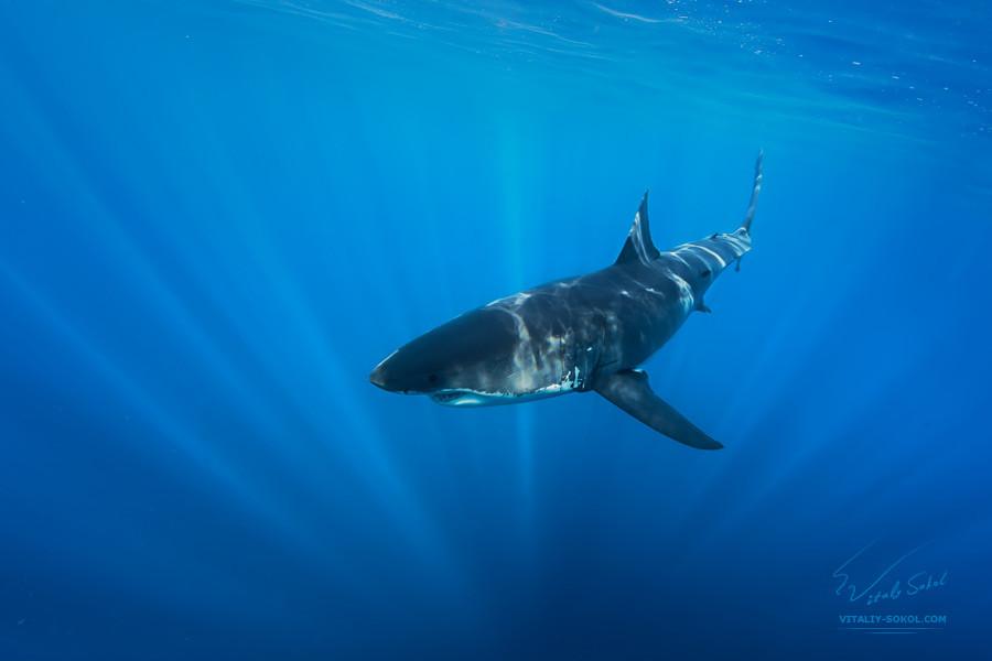 Большая Белая акула в океане
