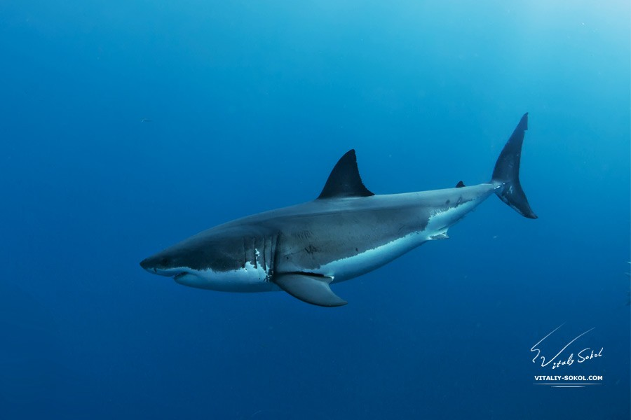 Great White Shark © Vitaliy Sokol www.vitaliy-sokol.com