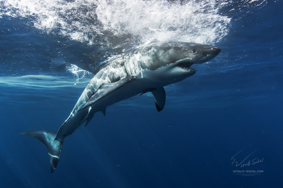 Sharks in The Ocean. Underwater photos by Vitaliy Sokol. source image Great-white-shark-0X2A0075