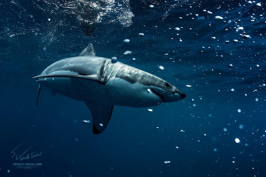 Great White Shark Underwater Photo in Open Water Underwater photos by Vitaliy Sokol