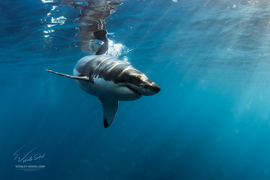 Great White Shark Underwater Photo in Open Water Underwater photos by Vitaliy Sokol