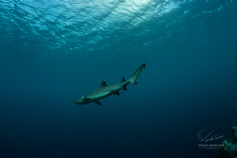 WHITETIP REEF SHARK UNDERWATER