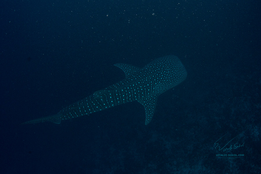 Whale Shark underwater. Maldives