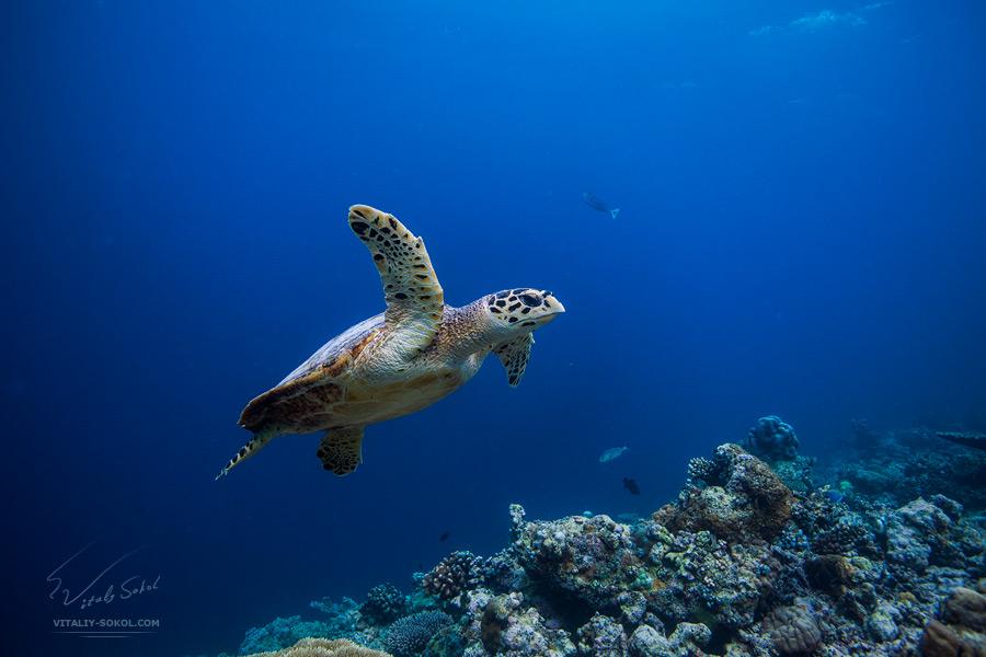 Подводная фотосъемка. Морская черепаха плывёт над коралловым рифом