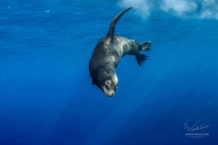 Sea lion swimming underwater in deep blue ocean in the Guadeloupe Island