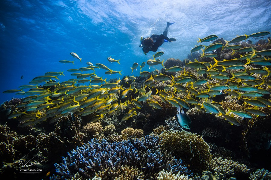 Beautiful blue Coral reef in Red sea full of yellow fish and freediver dive down in sunlight