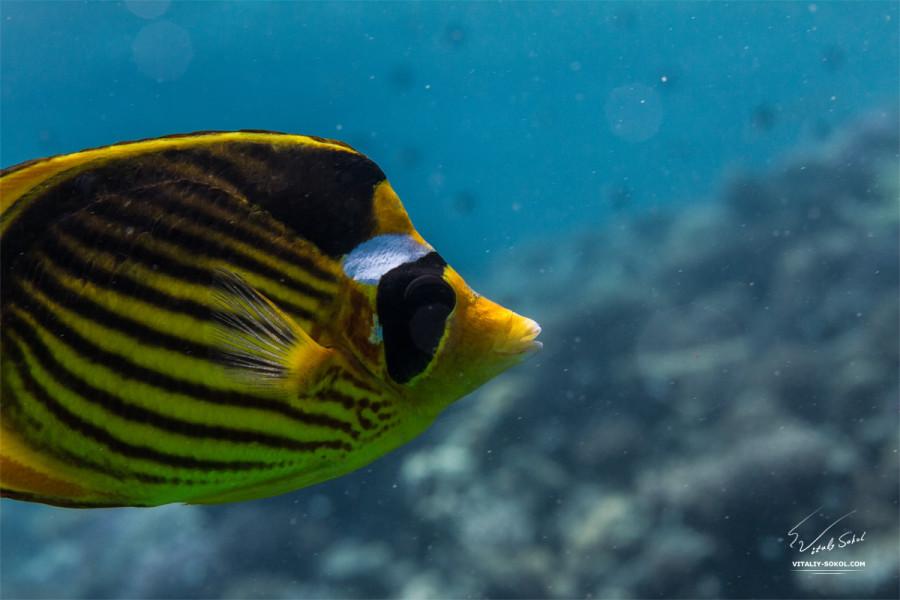 Общий план. Жёлтая красноморская синещёкая рыбка-бабочка. Рыбы Красного моря.