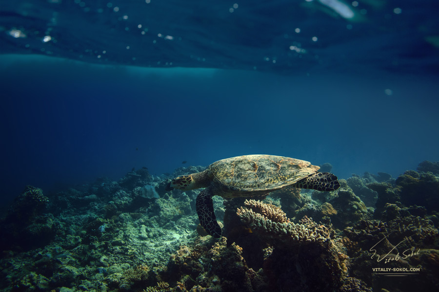 Colorful Maldivian reef under ocean wave with marine animal. Sea turtle floating in natural habitat.