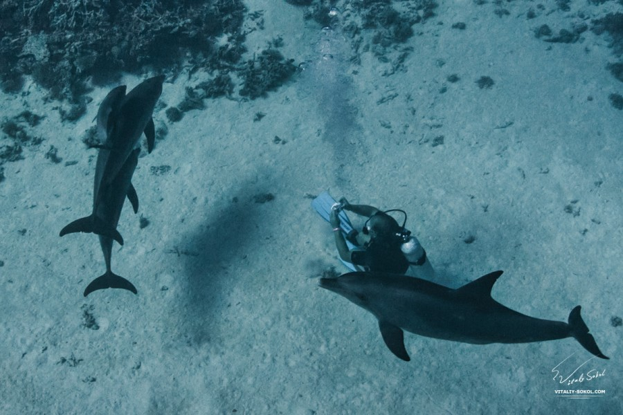 Family of four dolphins with dolphin baby underwater with scuba diver on bottom