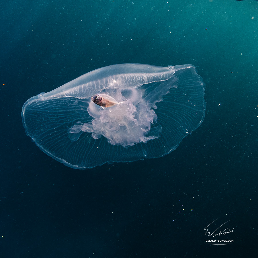 Smal baby fish live in Jellyfish in Red sea