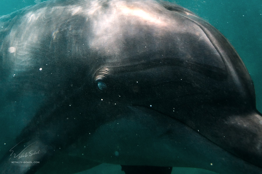 Dolphin eye closeup portrait