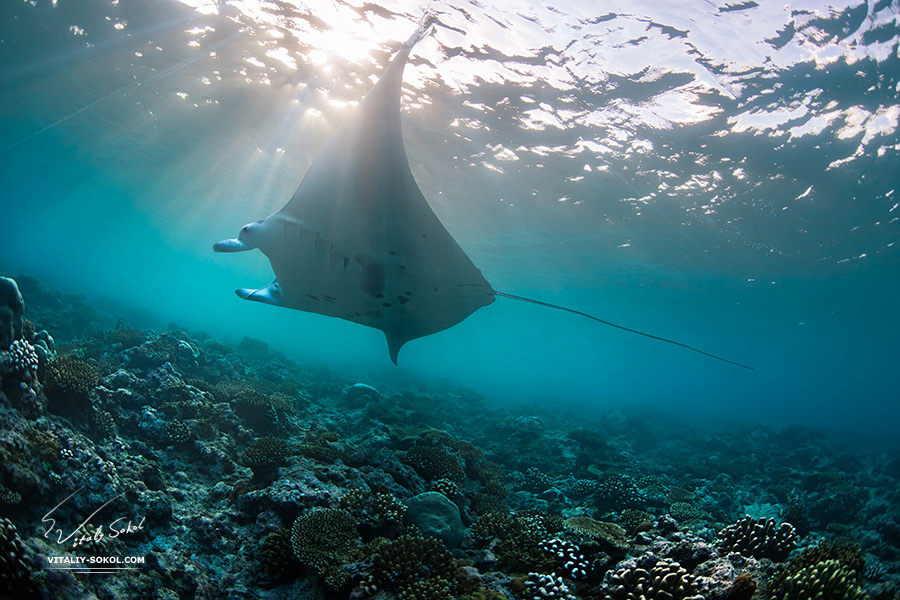 Mantaray underwater floating through sunbeams