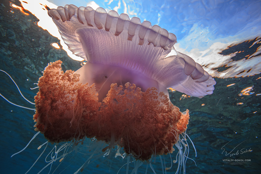 Big jellyfish in Indian ocean open water. Maldives, Ari atoll, homereef