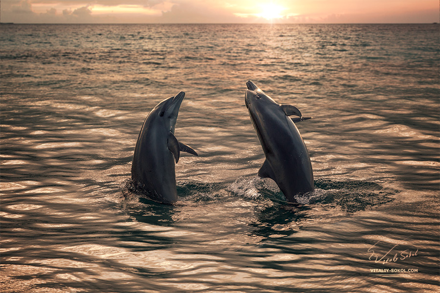 Stock image: Two beautiful dolphins in golden sunset water.