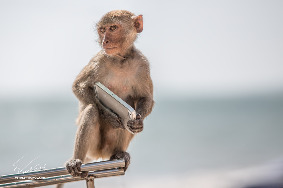 Serious monkey holding smartphone. Animal sitting on steel stick with phone in arms.