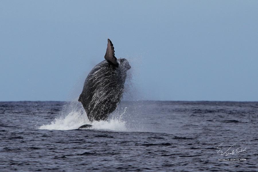 Big humpback whale hawai O'ahu island