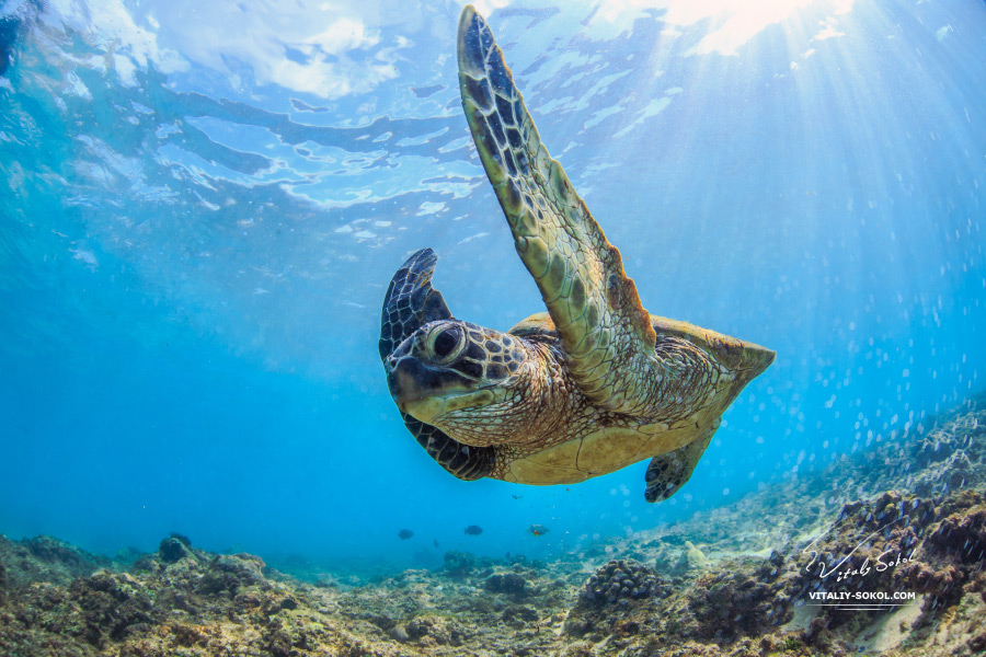 Sea turtle aka hawaiian Honu underwater. Beautiful Underwater Postcard. Hawaiian Sea Turtle Floating Up And Over Coral reef under sunrays on water surface. Honu in wild nature habitat