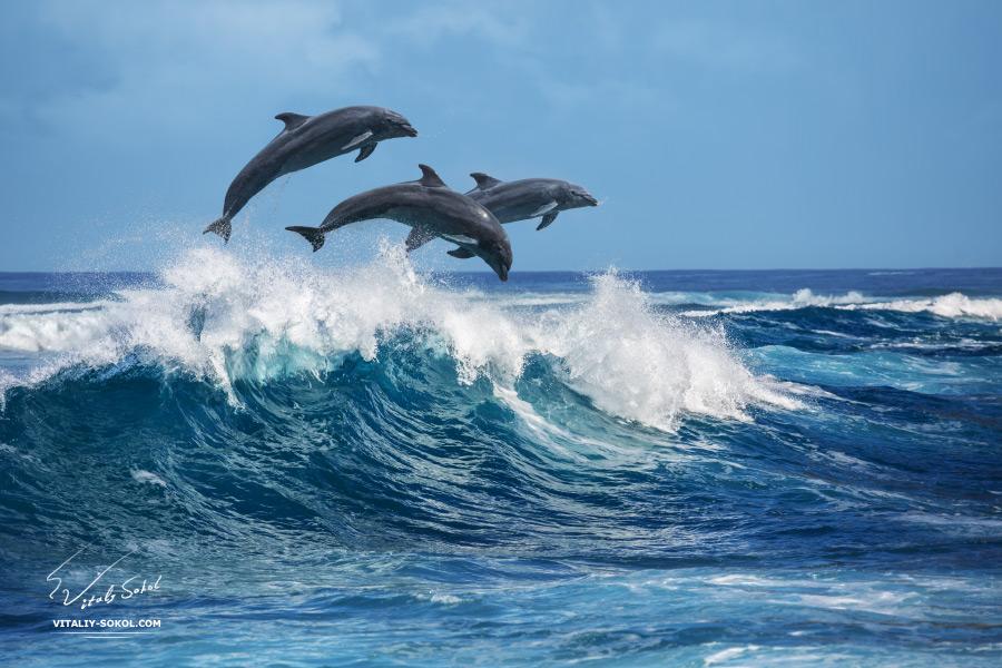 Дельфины, прыгающие по волнам