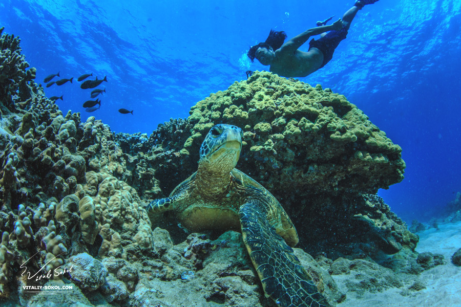 Sea turtle aka hawaiian Honu underwater. Beautiful Underwater Postcard. Hawaiian Sea Turtle Floating Up And Over Coral reef under sunrays on water surface. Honu in wild natural habitat