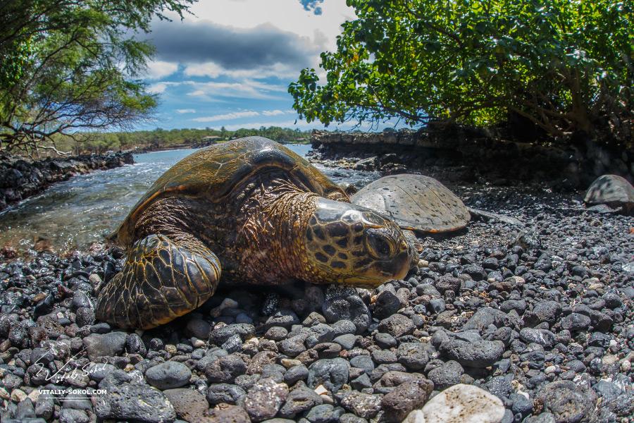 Черепаха выползла на камни на острове Мауи