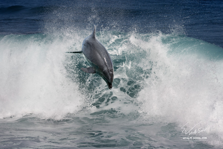 Stock Photo:<br /> A wild dolphin jumping from ocean and over a shorebreak wave. Tropical marine life animals.