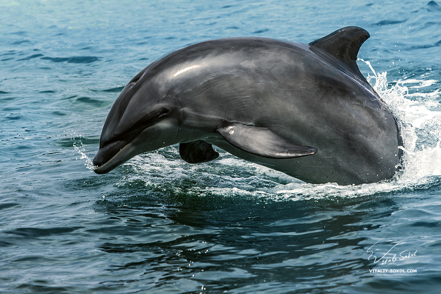 Bottlenose dolphin in Hawaii
