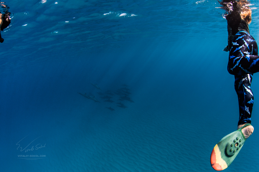 Snorkeling with Wild Spinner dolphins. Underwater photos in Hawaii Oahu island