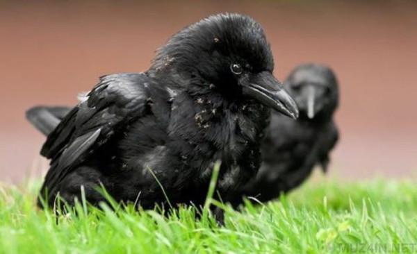 10 интересных фактов о воронах