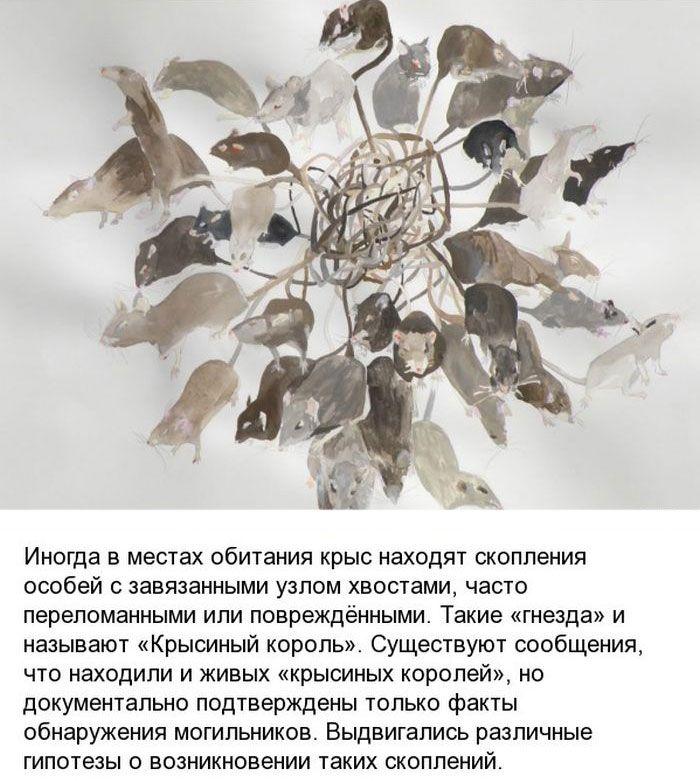 korol_01