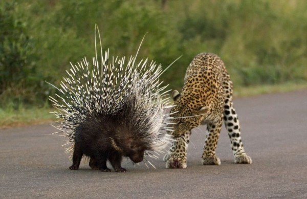leopard0
