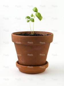 stock-photo-9016737-baby-basil-in-clay-pot